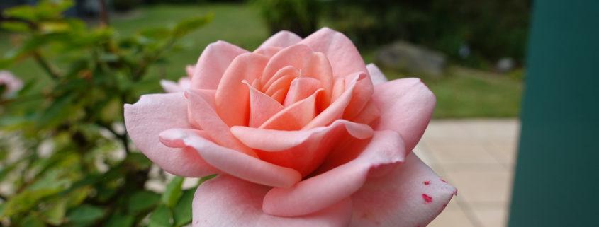 rose_bremen